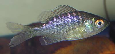 A Picture of Blue gill